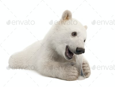 Polar bear cub, Ursus maritimus, 6 months old, with chew toy