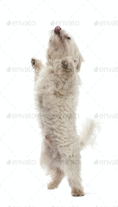 Maltese, 6 years old, standing on hind legs against white background