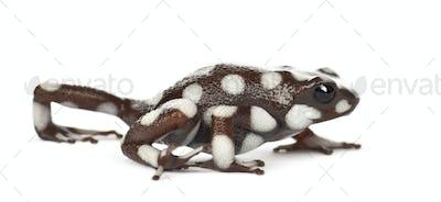 Maranon Poison Frog or Rana Venenosa, Ranitomeya mysteriosus, against white background