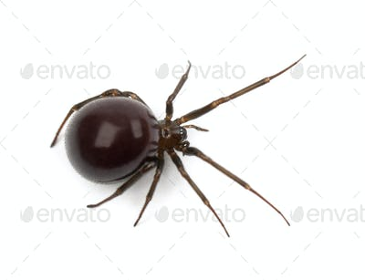 Common House Spider, Parasteatoda tepidariorum, against white background