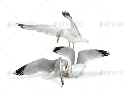 European Herring Gulls, Larus argentatus, 4 years old, in winter plumage fighting