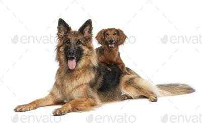 Dachshund, 9 years old, German Shepherd Dog, 3 years old, portrait against white background