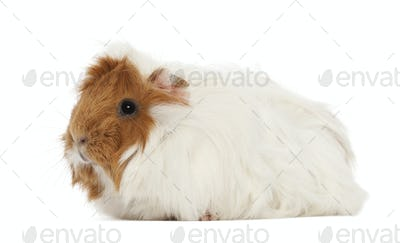 Guinea pig against white background