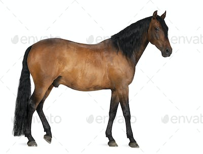 Mixed breed of Spanish and Arabian horse, 8 years old, standing against white background