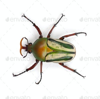 Male Flamboyant Flower Beetle or Striped Love Beetle, Eudicella gralli hubini
