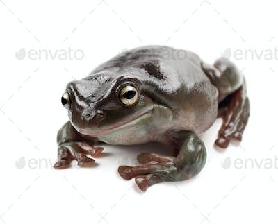 Australian Green Tree Frog, simply Green Tree Frog in Australia, White's Tree Frog