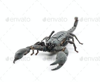 Emperor Scorpion, Pandinus imperator, against white background