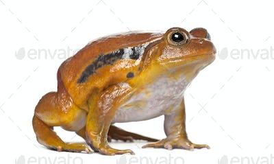 False Tomato Frog, Dyscophus guineti, against white background
