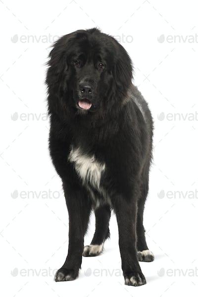Bastard dog, 9 months old, portrait against white background
