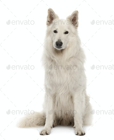 Berger Blanc Suisse, 5 years old, sitting against white background