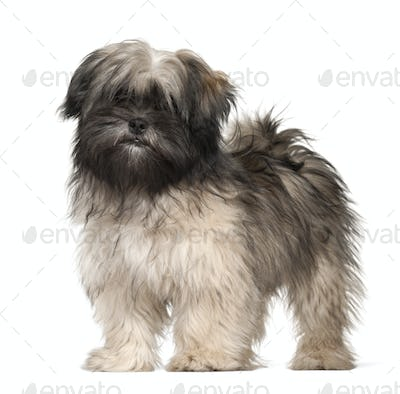 Lhasa apso portrait against white background