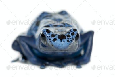 Blue and Black Poison Dart Frog, Dendrobates azureus, portrait against white background