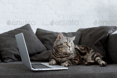 cute scottish straight cat with laptop on couch