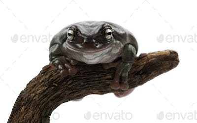 Australian Green Tree Frog, simply Green Tree Frog in Australia, White's Tree Frog