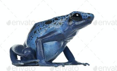 Blue and Black Poison Dart Frog, Dendrobates azureus, against white background