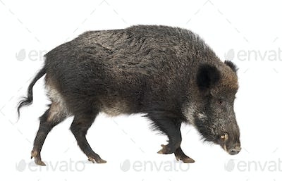 Wild boar, also wild pig, Sus scrofa, 15 years old, against white background