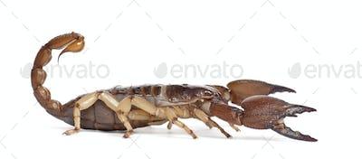Shiny Burrowing Scorpion or Yellow legged Creeping Scorpion, Opistophthalmus glabrifrons