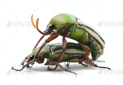 Mating Flamboyant Flower Beetles or Striped Love Beetle, Eudicella gralli hubini