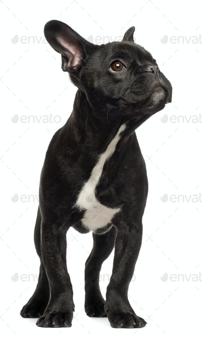 French bulldog puppy, 5 months old, standing against white background