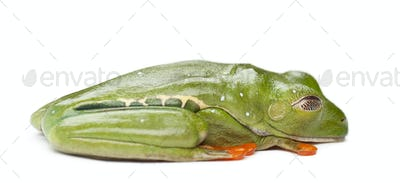 Red-eyed Treefrog, Agalychnis callidryas, against white background