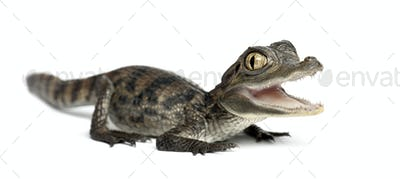 Spectacled Caiman, Caiman crocodilus, also known as a the White Caiman