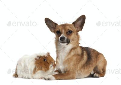 Bastard dog and guinea pig portrait against white background