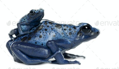 Female Blue and Black Poison Dart Frog with young, Dendrobates azureus