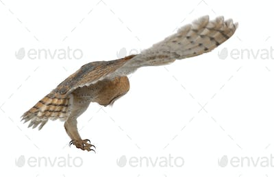 Barn Owl, Tyto alba, 4 months old, flying against white background