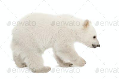 Polar bear cub, Ursus maritimus, 6 months old, standing against white background