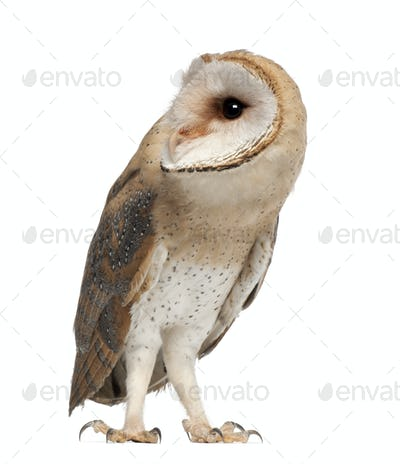 Barn Owl, Tyto alba, 4 months old, standing against white background