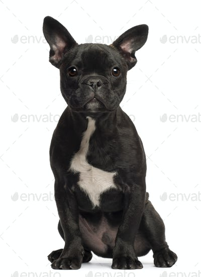 French bulldog puppy, 5 months old, portrait against white background