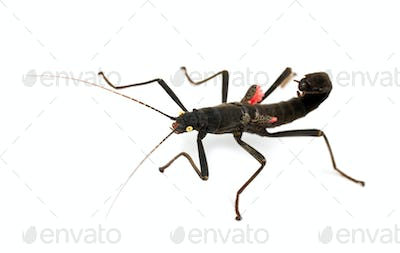Golden-eyed Stick Insect, Peruphasma schultei, a species of stick insect, against white background