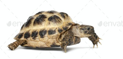 Young Russian tortoise, Horsfield's tortoise or Central Asian tortoise, Agrionemys horsfieldii
