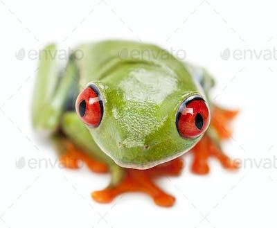Red-eyed Treefrog, Agalychnis callidryas, portrait and close up against white background