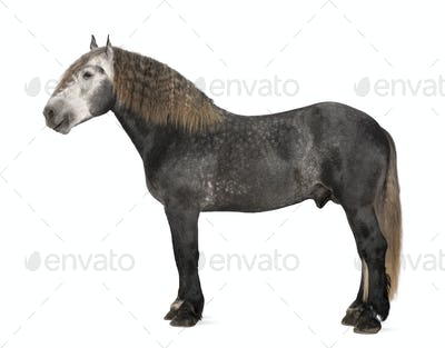 Percheron, 5 years old, a breed of draft horse, standing against white background