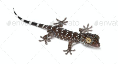 Tokay Gecko, Gekko gecko, portrait against white background