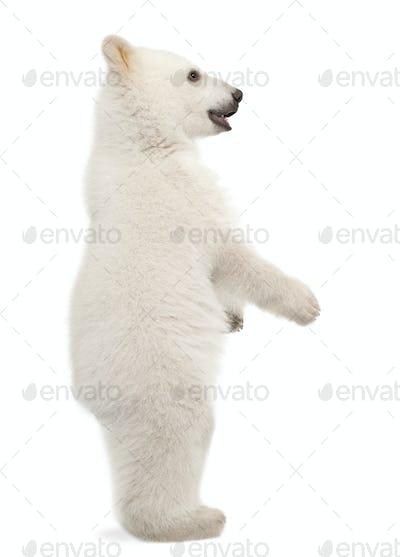Polar bear cub, Ursus maritimus, 6 months old, standing on hind legs against white background