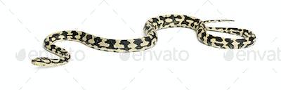 Python, Morelia spilota variegata, against white background