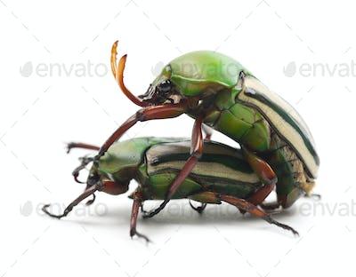 Mating Flamboyant Flower Beetles or Striped Love Beetle, Eudicella gralli hubini