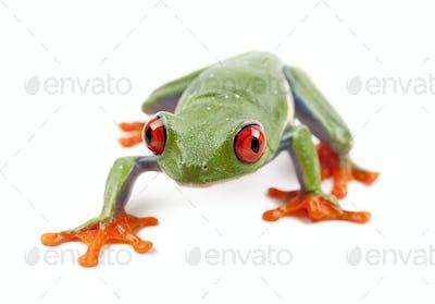 Red-eyed Treefrog, Agalychnis callidryas, portrait against white background