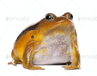False Tomato Frog, Dyscophus guineti, portrait against white background