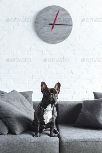Cute french bulldog sitting on sofa in cozy room