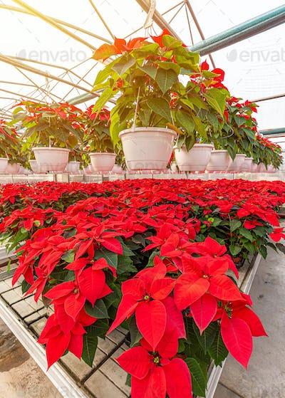 Red poinsettia flowering plants