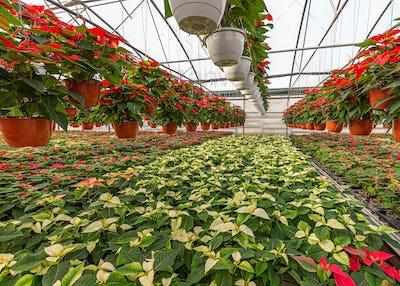 Christmas holiday poinsettia plants