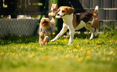 Cute Yorkshire Terrier dog and beagle dog chese each other in backyard.