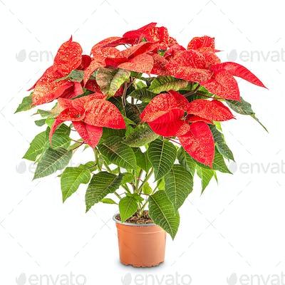 Red poinsettia in flowerpot