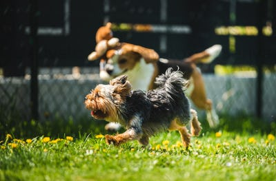 Cute Yorkshire Terrier dog and beagle dog chese each other in backyard