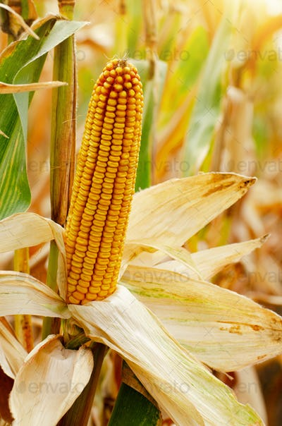 Dry corn cob on stalks authentic view on corn field autumn time