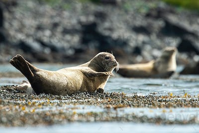 Common seal waving with the fin on a shore in summer nature