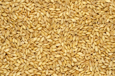 Hulless barley grains, also called naked barley, background and surface